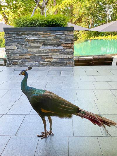 Capella Singapore Peacock