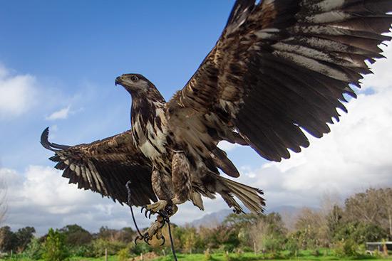 Cape Town Spier Wine Farm Eagle Encounters