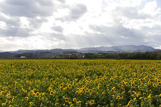 Hokkaido Autumn Guide Sunflower Field
