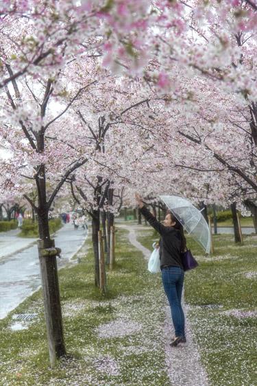 Sakura or Cherry Blossoms at Kema Sakuranomiya Park, Osaka, Japan